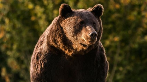 Womöglich größter Braunbär Europas bei Jagd getötet