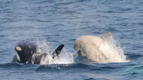 Weiße Orcas vor der Küste Japans gesichtet