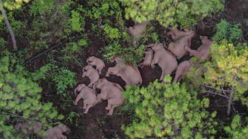 Chinas wandernde Elefanten: Sind die Tiere verwirrt – oder schlau?