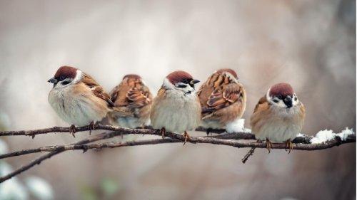 Weltweite Vogelzählung: 1,6 Milliarden Spatzen, aber nur 3000 Kiwis