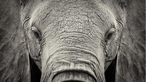 Immer mehr Elefanten ohne Stoßzähne geboren: eine Folge der Wilderei