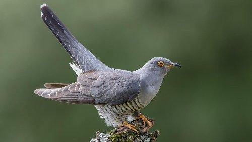 Kuckucke finden immer weniger geeignete Nester