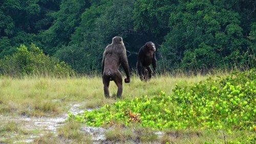 Erstmals dokumentiert: Schimpansen töten Gorillas