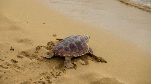 Plastikmüll als Falle für junge Meeresschildkröten