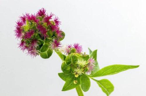 Pimpinelle – gesunde Rezepte mit dem kleinen Wiesenknopf
