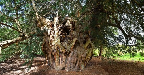The secret 2,500-year-old Surrey tree you need to get selfie with