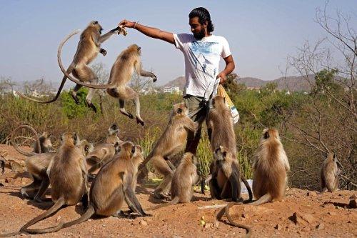 Langur Monkeys in India