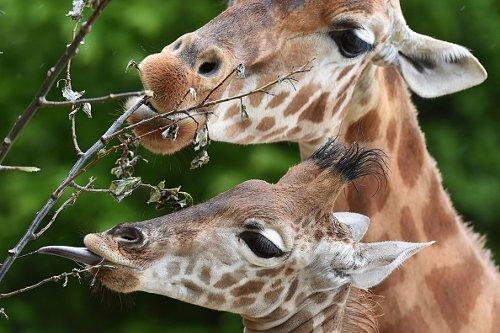 "Baby Giraffe ""Kano"""