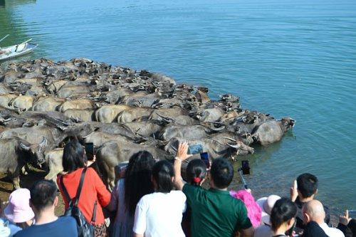 Buffalo Swim Across The Jialing River