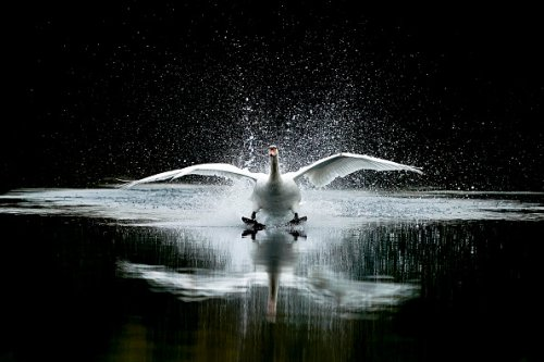 A swan lands in the lake in the centre of the course at Kempton Park...