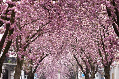 Bonn cherry blossom trees in bloom