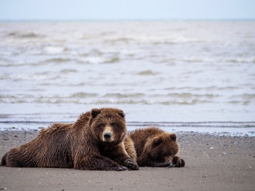 Coastal brown bear, also known as Grizzly Bear, Ursus Arcos, female...
