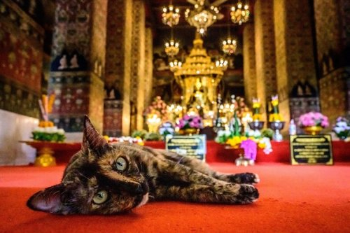 Cat Inside a Buddhist Temple in Thailand