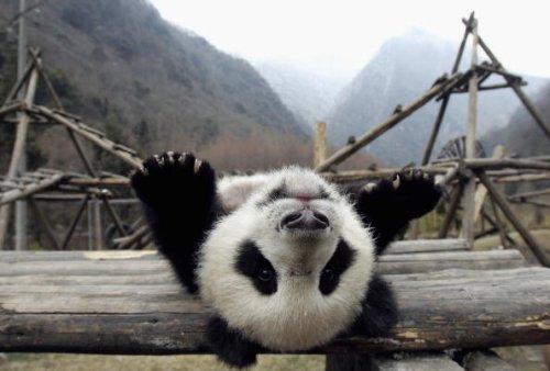 A giant panda cub plays at the Wolong Giant Panda Bear Research...