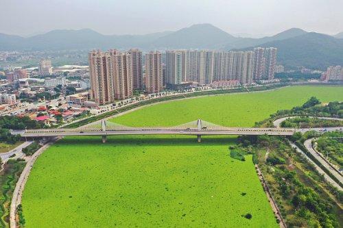 Il fiume Jin Jiang coperto di giacinti d'acqua nella città di Quanzhou