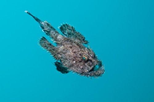 Short-spined Anglerfish