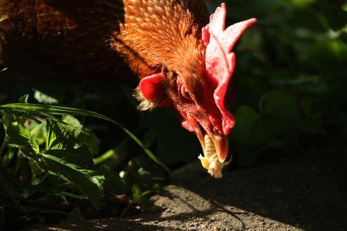 Chicken Deed