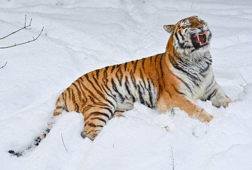 Una tigre in Brandeburgo