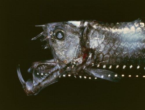 Manylight viperfish or Sloane's viperfish