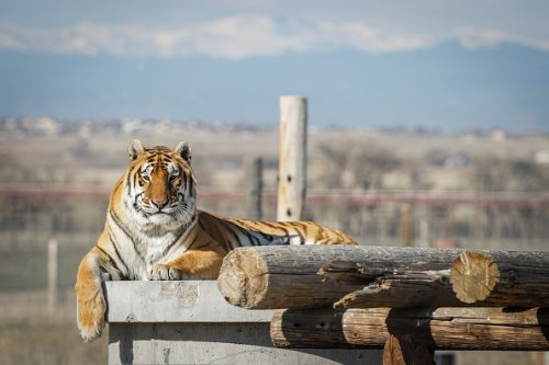 One of the 39 tigers rescued in 2017 from Joe Exotic's G.W. Exotic...