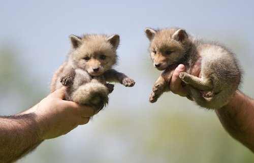 Rescued Fox Cubs