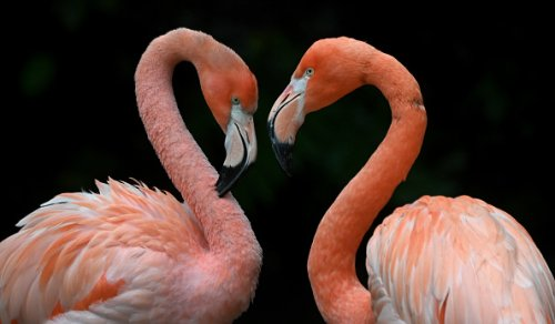 Two flamingos stand together in their enclosure in the Hellabrunn zoo...