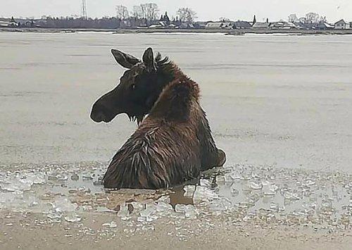 An Elk Calf Rescue