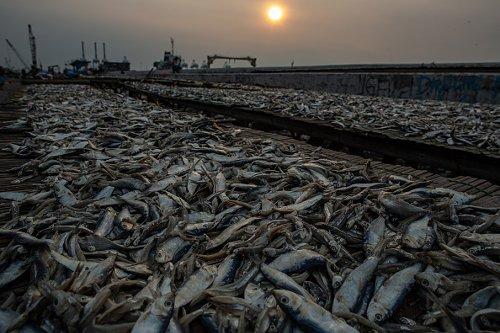 A fisherman dries fish in Jakarta