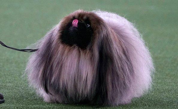 """Wasabi, il cane """"più bello del mondo"""""""