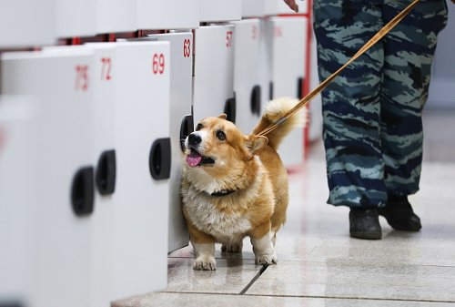 The Only Corgi Police Dog in Russia