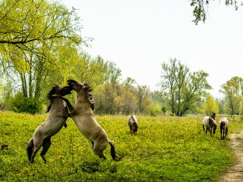Two Young Horses Fighting