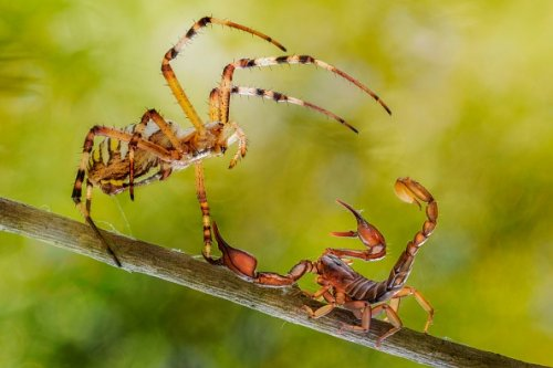 Fight between a spider and a scorpion