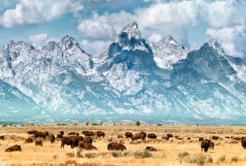 Bison on the prairie below the Grand Teton Range. Fall colors on the...