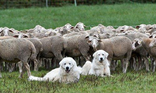 Herd Guard Dogs