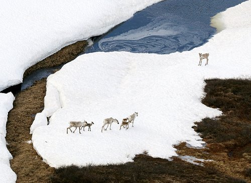 Caribou in melting snow