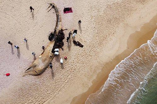Dead fin whale in Israel