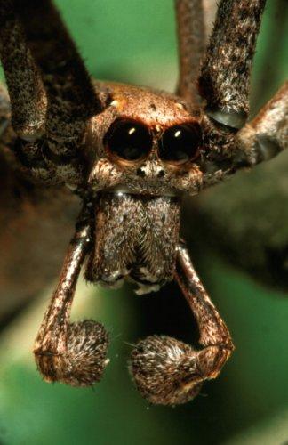 Rufous net-casting spider