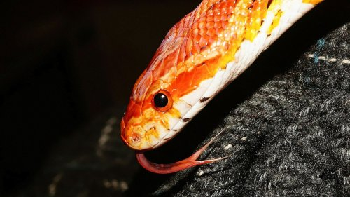 Bright Orange Snake Found Slithering On Train, See The Video