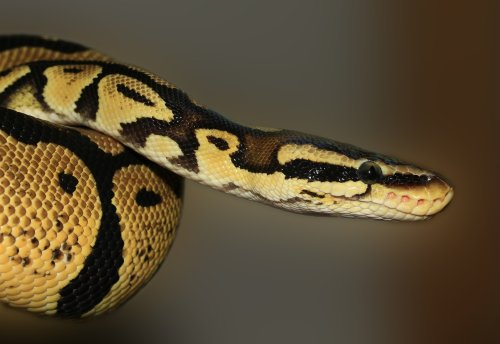 Huge Python Snake Found Hiding In A Family's Bathroom