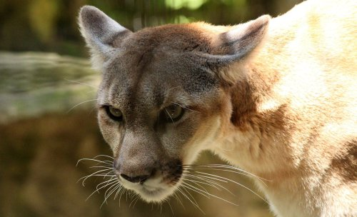 Watch An Actual Mountain Lion Play Games And Win Prizes