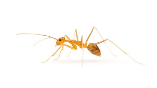 Crazy Yellow Ants Get Another $3 Million In The Budget