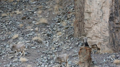 Can You Find The Perfectly-Camouflaged Snow Leopard Hidden On This Mountainside?