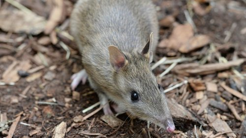 Australia's Eastern Barred Bandicoots Have Come Back From Extinction