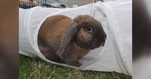 Deadly rabbit virus enters southern Alberta: 'This disease is very scary'