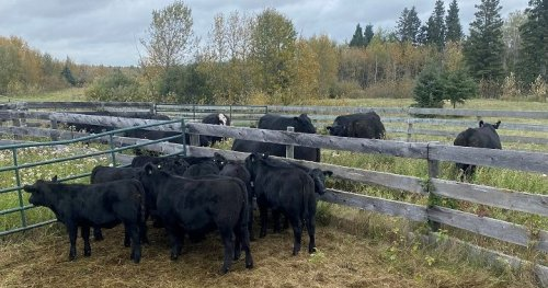 RCMP charge pair involved in fraudulent cattle sales in Alberta and Saskatchewan | Globalnews.ca