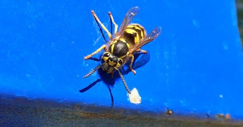 This wasp and yellowjacket season is possibly the worst ever in Edmonton, city says - Edmonton   Globalnews.ca