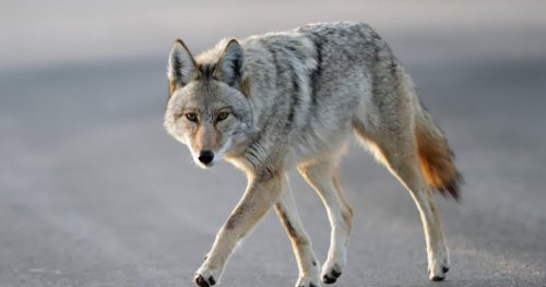 Yet another coyote attack in Vancouver's Stanley Park | Globalnews.ca