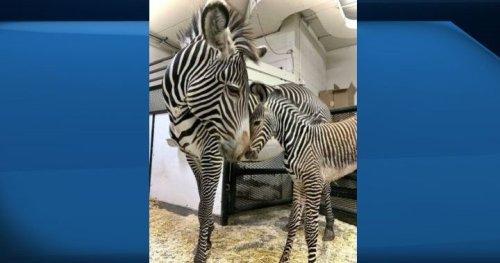 Edmonton Valley Zoo announces birth of rare type of zebra - Edmonton | Globalnews.ca