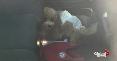 B.C. SPCA says prevent pet heartbreak: Don't leave animals inside hot vehicles