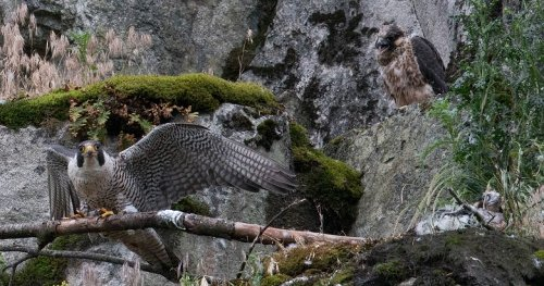 Fraser Valley quarry work near rare peregrine falcon nest worries conservationists
